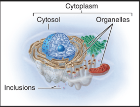 Eukaryotic Cell structure with cytosol and inclusions