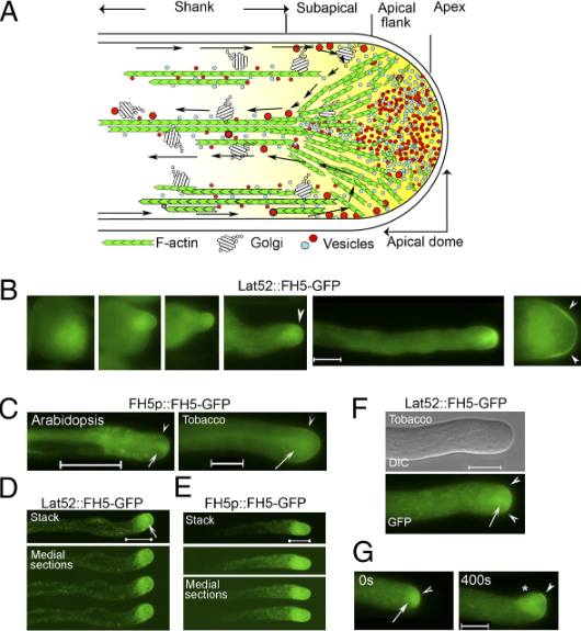 "In angiosperm pollen-tube actin cytoskeleton and""reverse-fountain"" cytoplasmic streaming pattern"