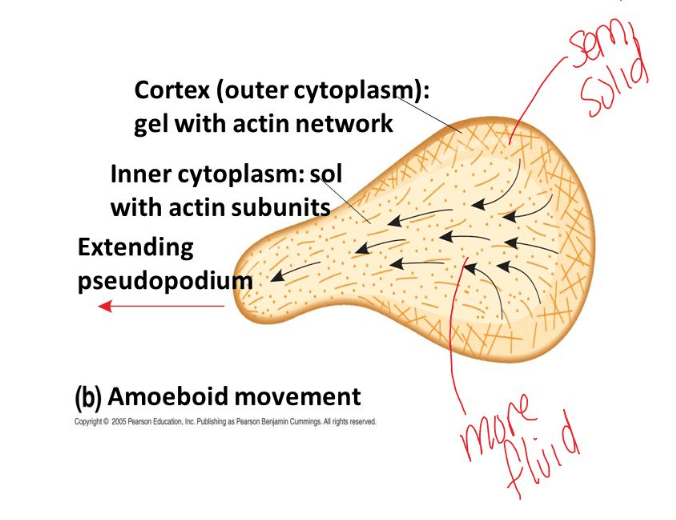 amoeboid movement forming pseudopodia by cytoskeleton