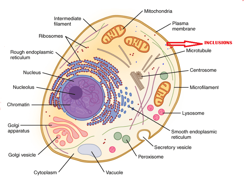 cell structure with cytoplasm and organelles