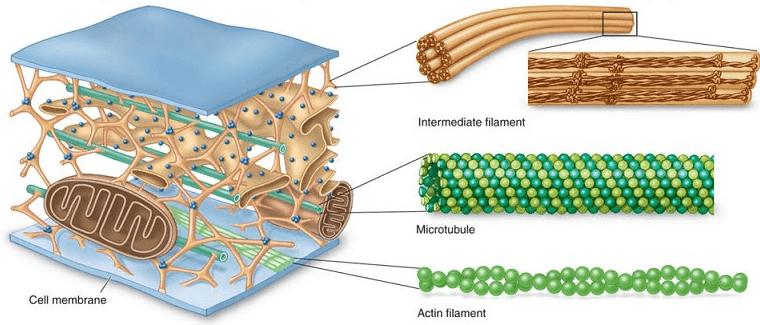 types of cytoskeletal fibers