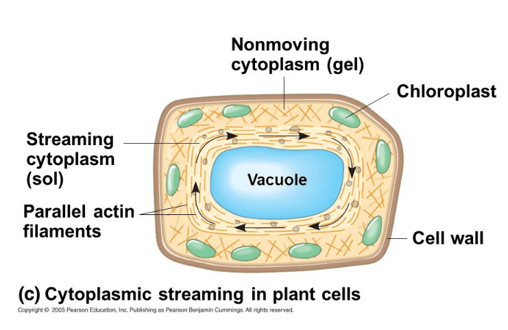cytoplasmic streaming in plant cell