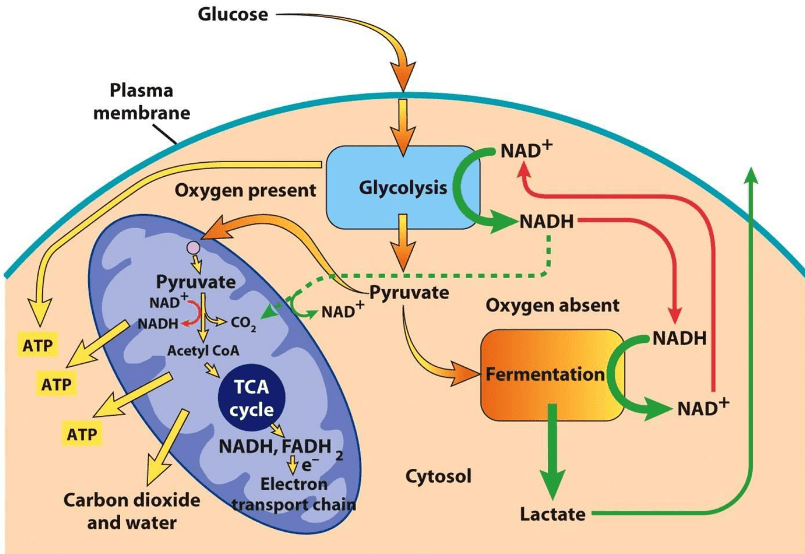 Glycolysis in cytoplasm