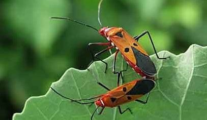 Red cotton bug, a serious pest of cotton