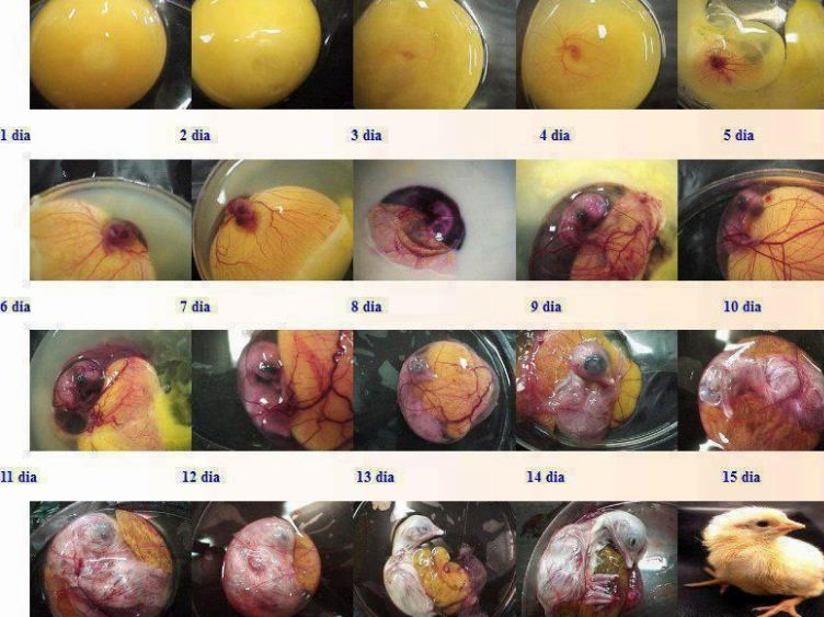 Embryology. figure showing the stages of chick development