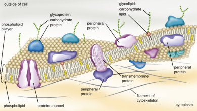 Chemical composition and structure of plasma membrane