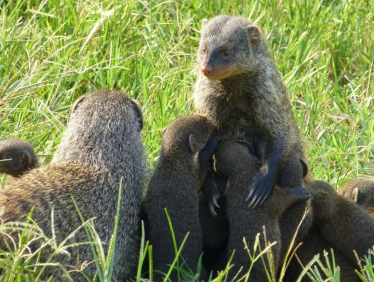 mongooses mother protecting her pups , a best example of sociobiology
