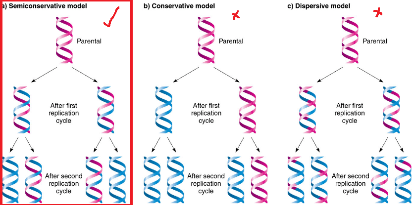 3 models of DNA replication