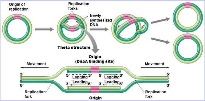 Theta model of DNA replication