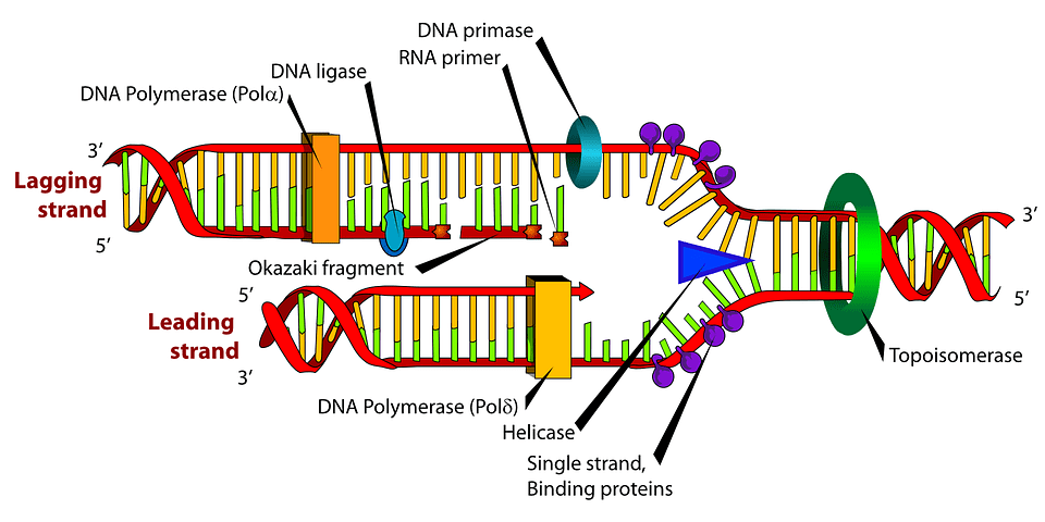 semiconservative model of DNA replication