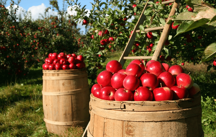 apple orchard harvesting time. tudy of fruits production is called pomology