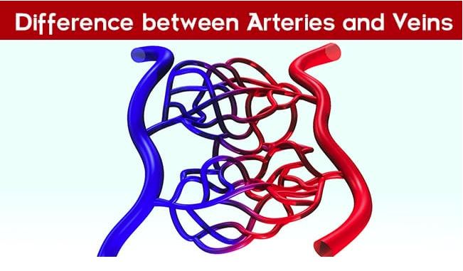 difference between arteries and veins