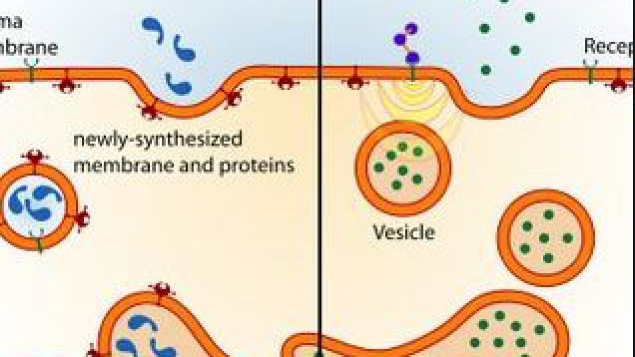 A Definition Of Endocytosis With Steps And Types Manual Guide