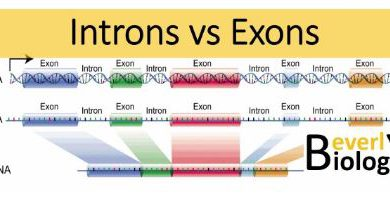 Difference Between Exons and Introns