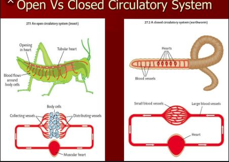 Difference Between Open And Closed Circulatory Systems