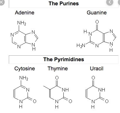 Difference Between Purine And Pyrimidine