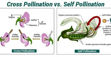 Difference Between Self Pollination and Cross Pollination