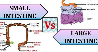 Difference Between Small and Large Intestine