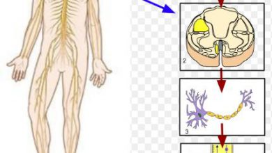 Somatic nervous system functions