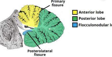 cerebellum Parts