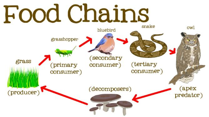 Example of terrestrial food chain
