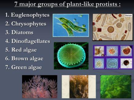 Algae, Plant like protists