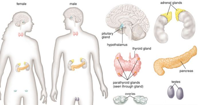 Overview of Endocrine system with its glands in male and female