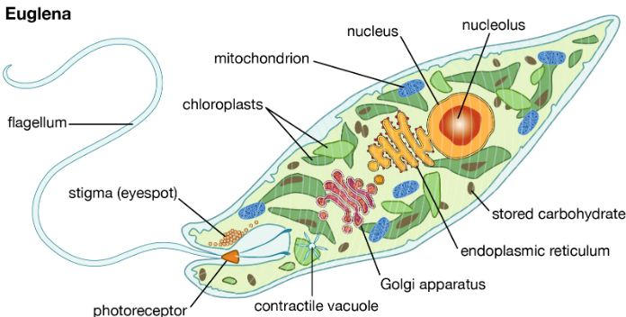 Cell structure of model protist, Euglena