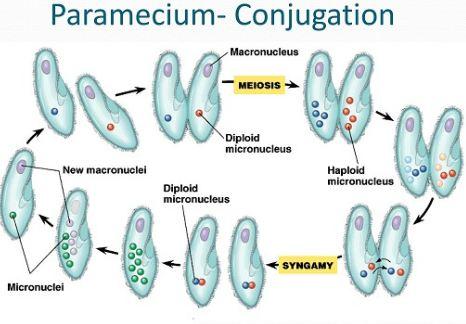 Paramecium conjugation