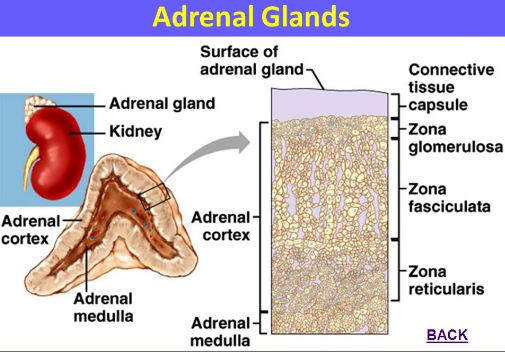 adrenal gland structure