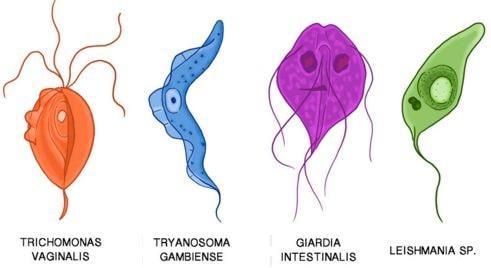 Animal like Protists, Protozoa
