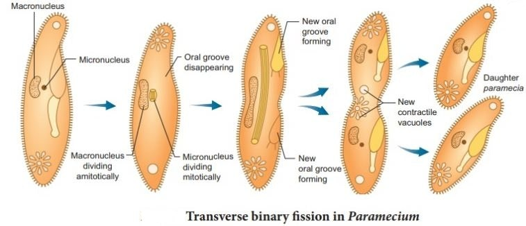 Binary fission in paramecium