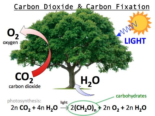 carbon fixation in organic molecules by photosynthesis