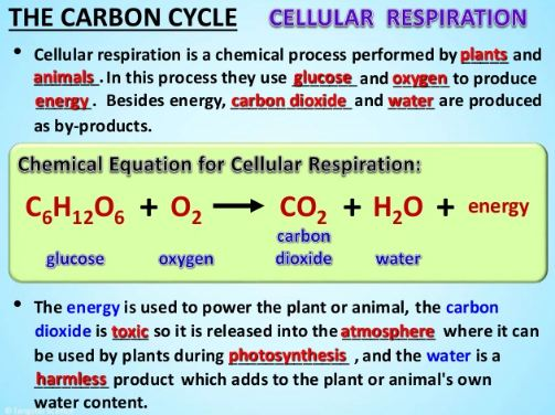 Cellular respiration release carbon