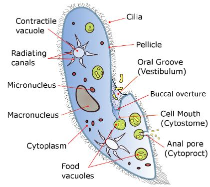 Ciliates internal cell structure