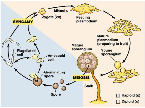 Myxomycetes life cycle