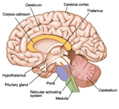 Hypothalamus and pituitary gland in human brain