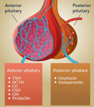 Pituitary gland lobes with its hormones