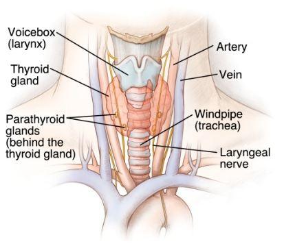 Thyroid gland and parathyroid gland