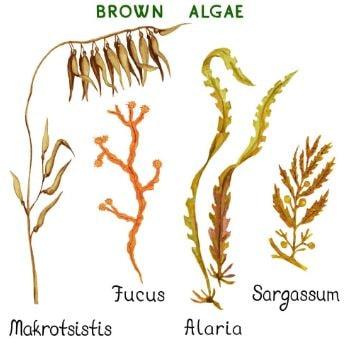 Types of brown algae