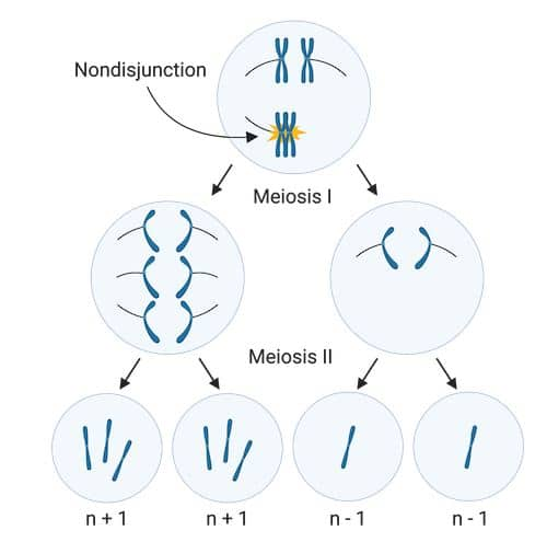 Aneuploidy in meiosis I