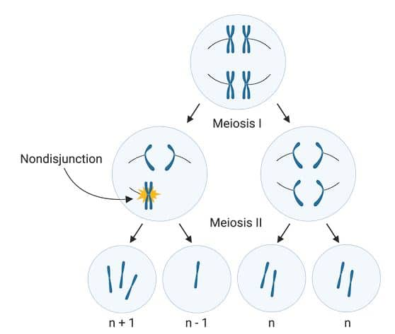 Aneuploidy in meiosis II