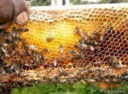 Notes on Importance of Afforestation : Honey, a super food derived from forests
