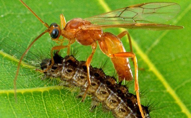 Example of biological control, wasp parasitizing a caterpillar