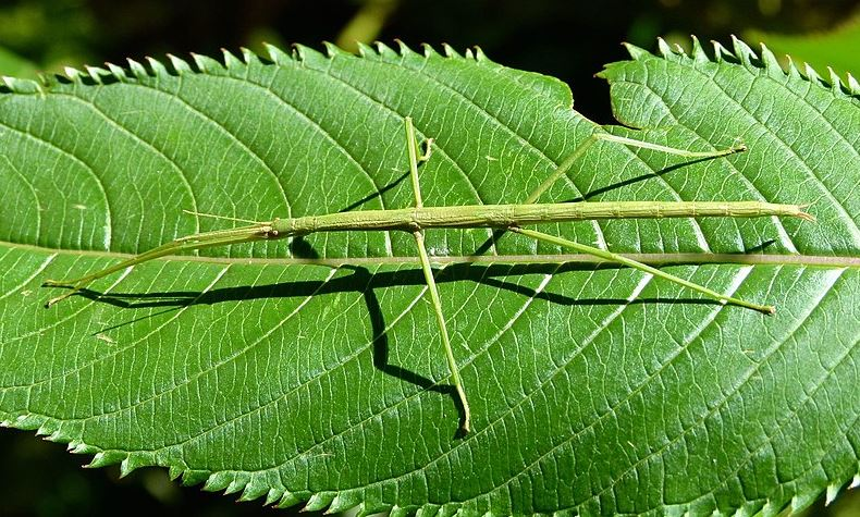 New Zealand's most common stick insect, Clitarchus hookeri