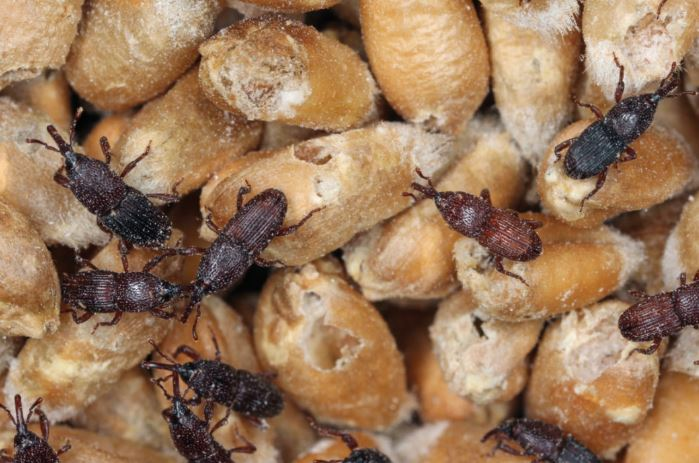 Stored grains insects pests